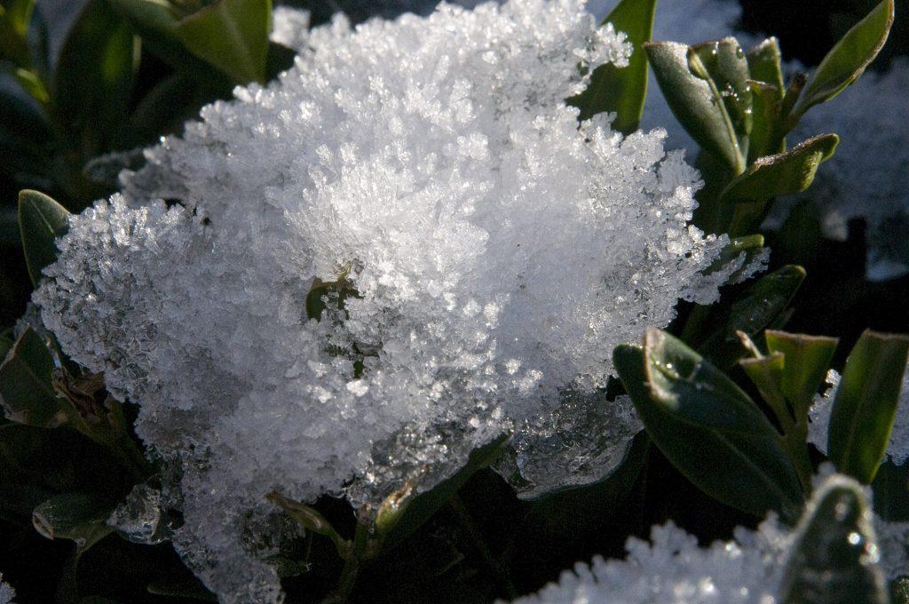 Eiskristalle im Buchsbaum