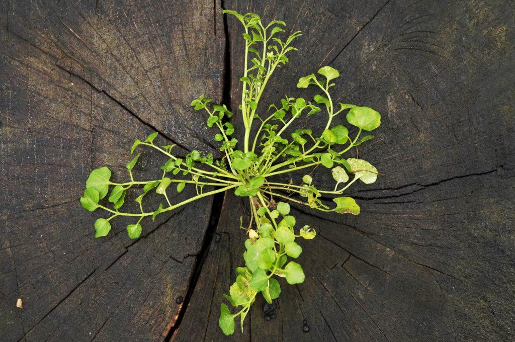 Wiesenschaumkraut (Cardamine pratensis)